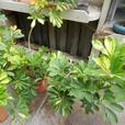Shefflera plants