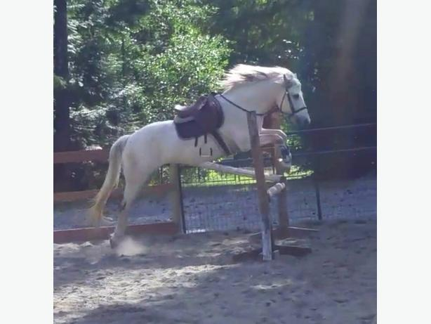connemara pony for lease