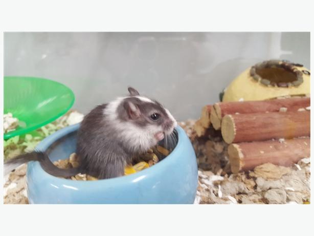 Yuca - Gerbil Small Animal