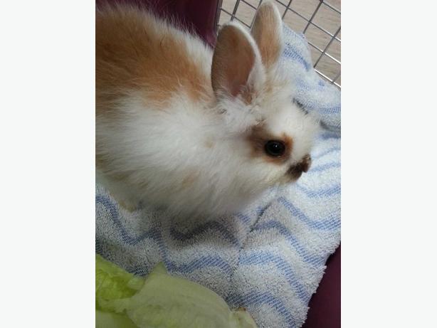 Albert - Lionhead Rabbit