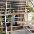 Kiwi - Budgie Bird - Exotic