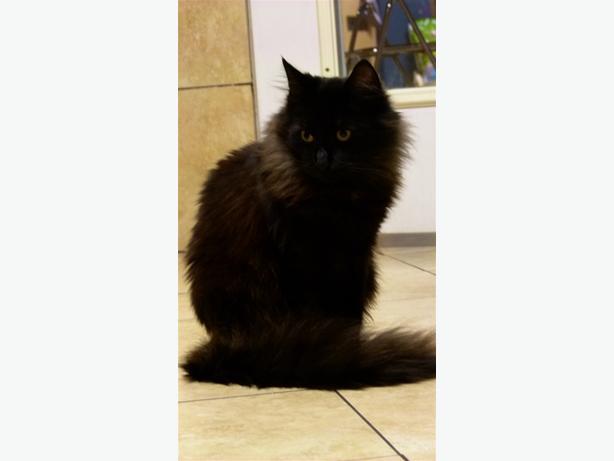 Oryan - Domestic Medium Hair Cat