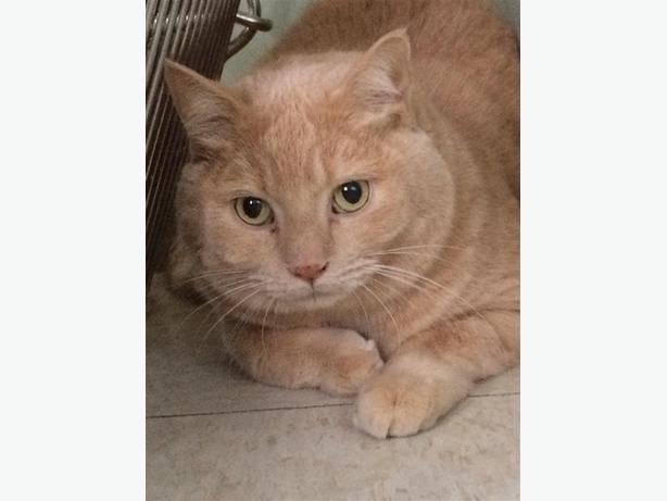 Dumpling - Domestic Short Hair Cat