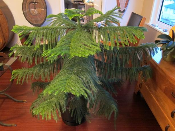 Spectacular healthy large Norfolk Pine