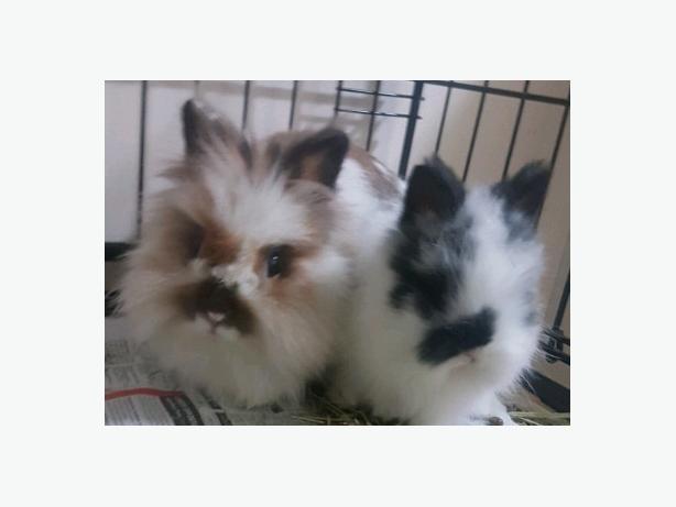 2 Lionhead Rabbit