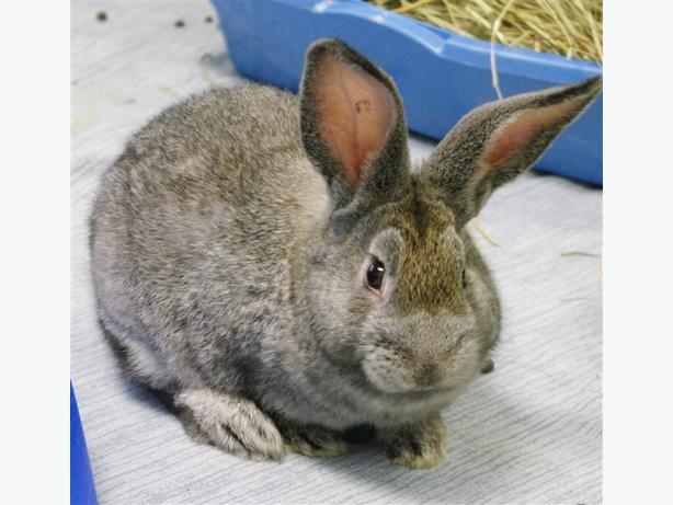 Alabama - American Rabbit