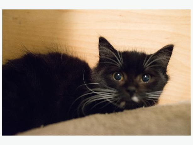 Darling - Domestic Short Hair Kitten