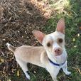 Prince - Chihuahua Dog