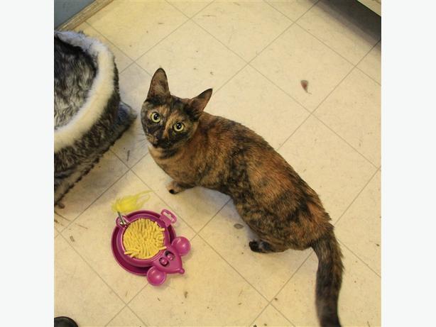 Lucy - Lulu - Domestic Short Hair Cat