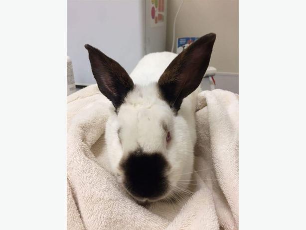 York Road - Californian Rabbit