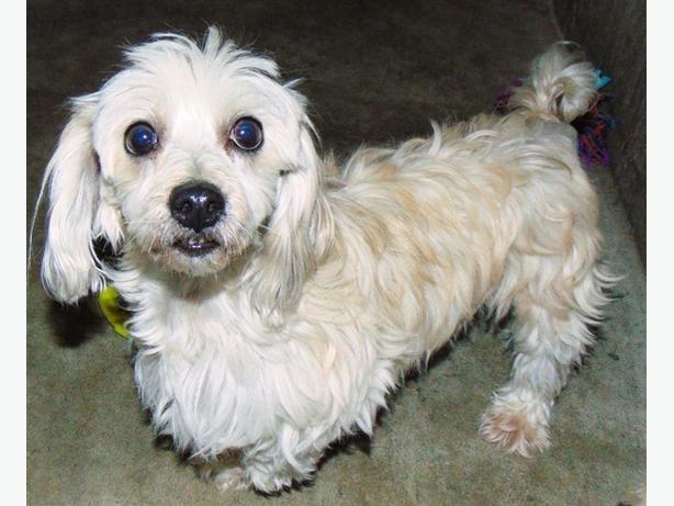 Peaches - Havanese Dog