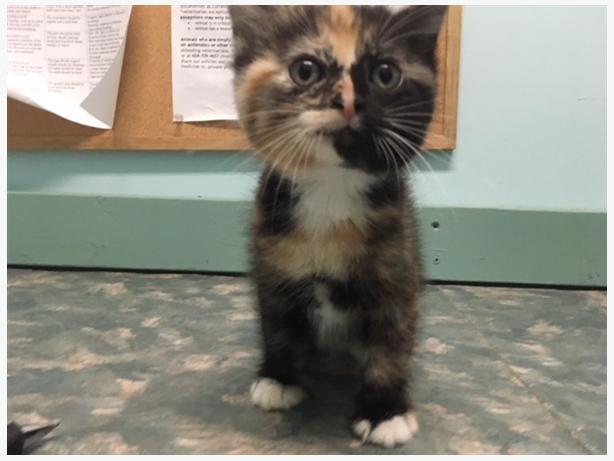 Eleven - Domestic Short Hair Kitten