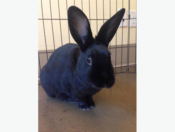 Hippitus - Dwarf Rabbit