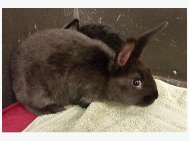 Ohio - American Rabbit