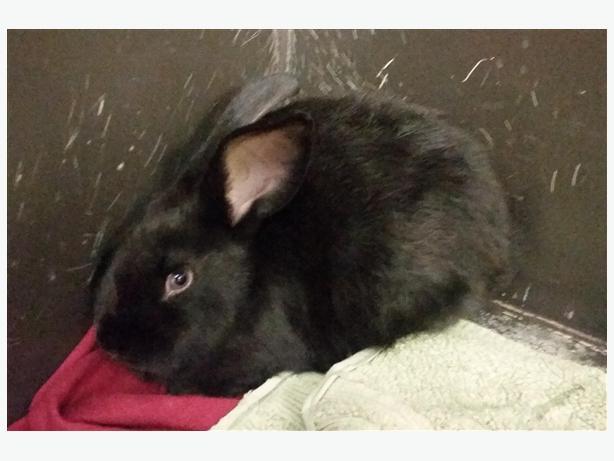 Washington - American Rabbit
