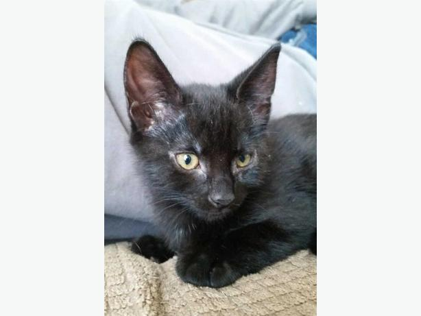 Mips - In Foster - Domestic Short Hair Kitten