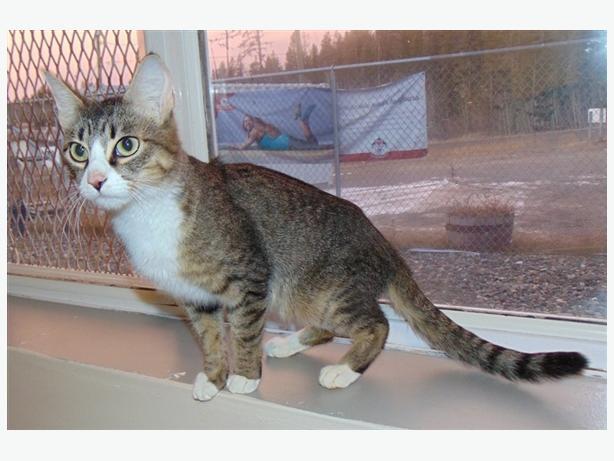 China - Domestic Medium Hair Cat