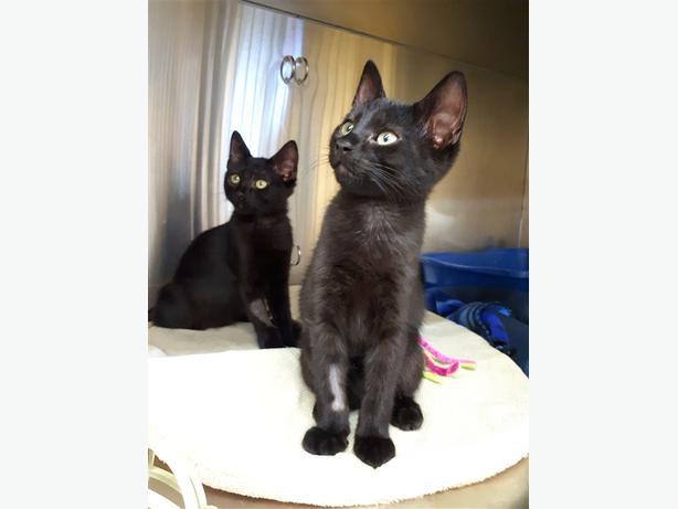 Phobus - Domestic Medium Hair Kitten