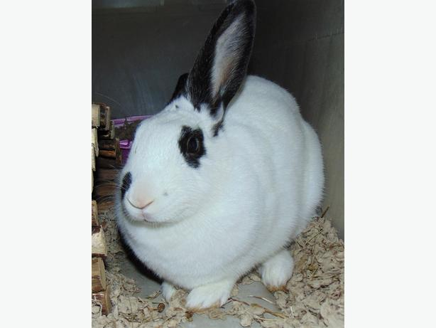 Daisy - Mini Rex Rabbit