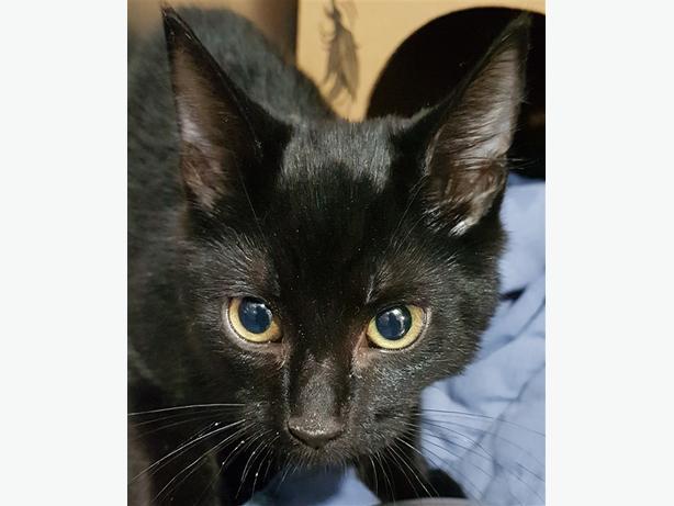 Carson - Domestic Short Hair Kitten