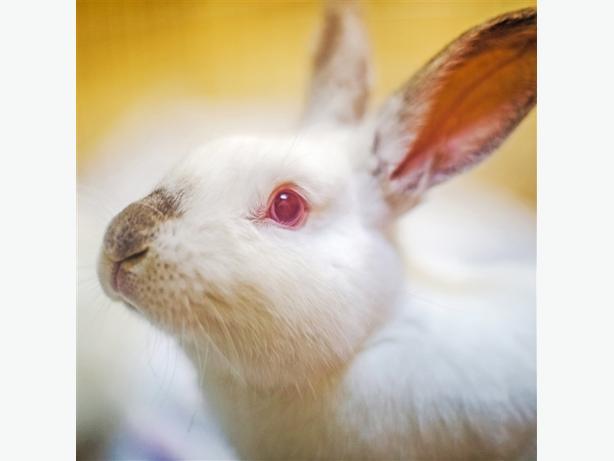 Hopper - Californian Rabbit