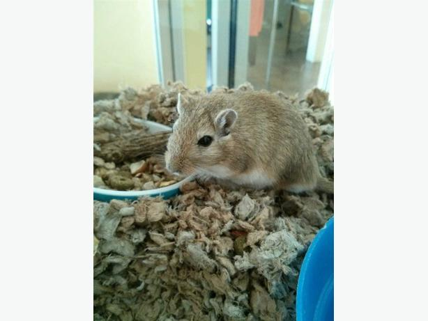 Jack - Gerbil Small Animal