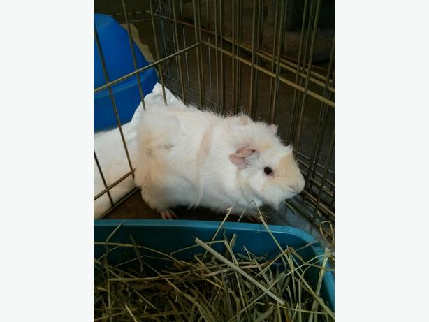 Snowball - Guinea Pig Small Animal