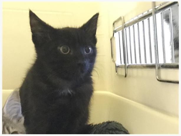 Poe - Domestic Short Hair Kitten