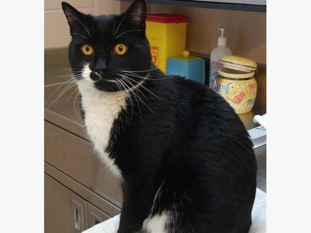 Tucker - Domestic Short Hair Cat