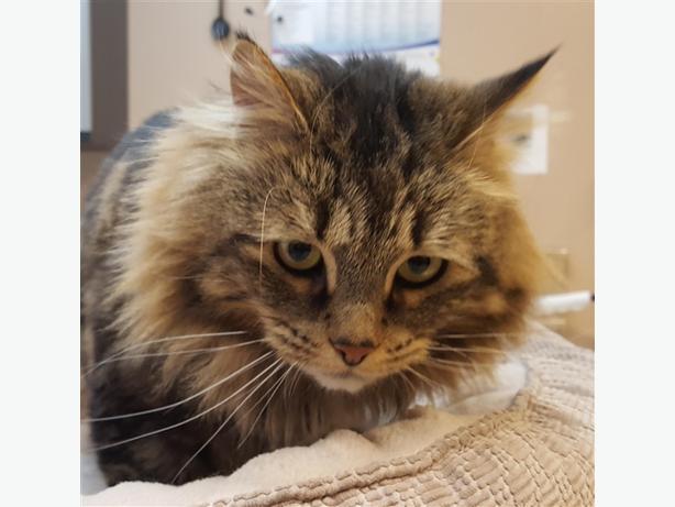 Dazzie - Domestic Longhair Cat