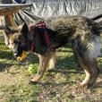 Zeus - Shiloh Shepherd Dog