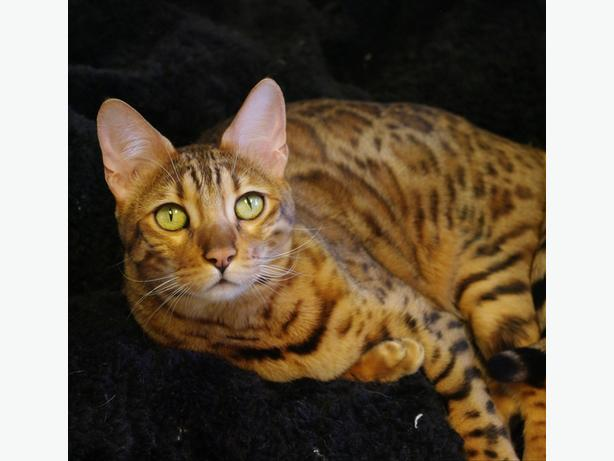 Ember - Bengal Cat