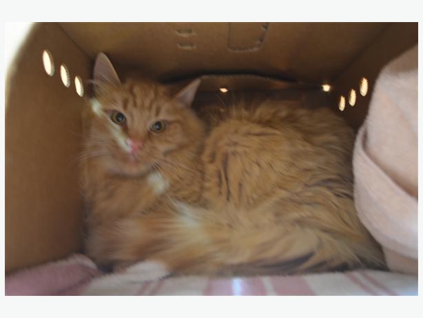 Yule - Domestic Medium Hair Cat