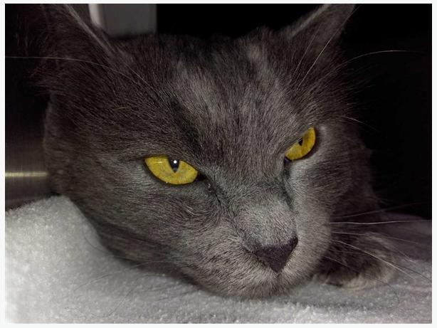 Graham - Domestic Medium Hair Cat