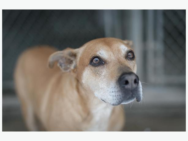 Missy - American Staffordshire Terrier Dog