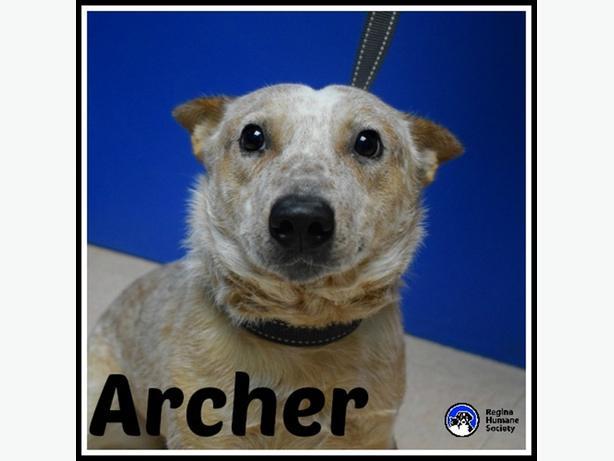 Archer - Red Heeler Dog North Regina, Regina