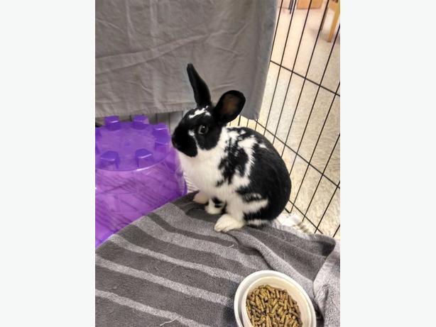Bon Bon - Dwarf Rabbit