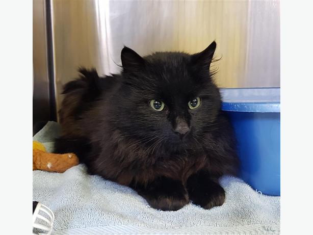 Richlands (rich) - Domestic Medium Hair Cat