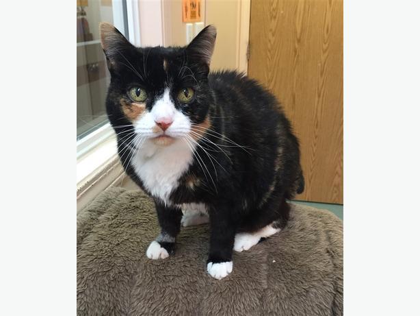 Minmin - Domestic Short Hair Cat