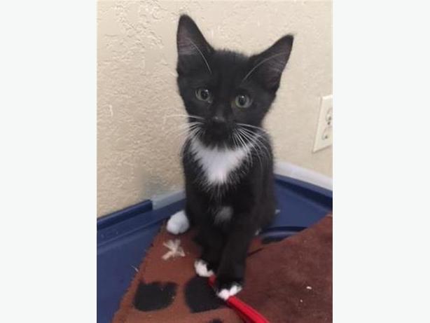 Twinkle - Domestic Short Hair Kitten