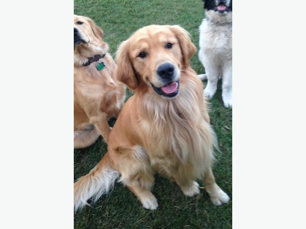 Looking to breed male golden retriever