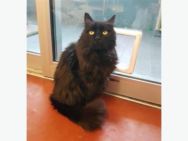 Angelica - Domestic Longhair Cat
