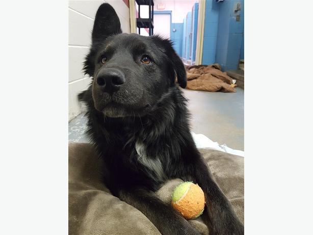 Jojo - Border Collie Dog