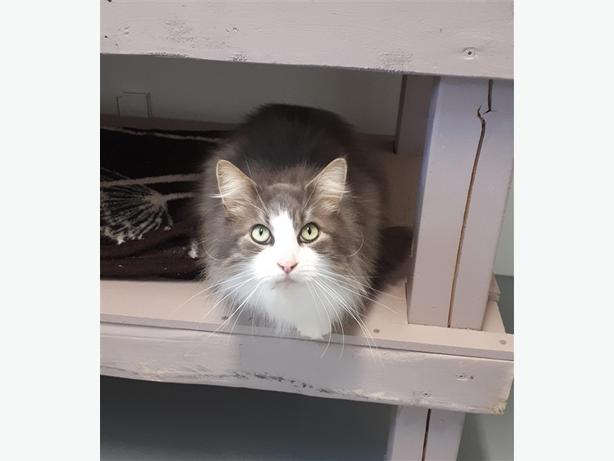 Olsen - Domestic Longhair Cat