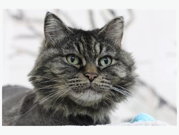 Savvy - Domestic Longhair Cat
