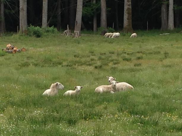 Kathadin lambs