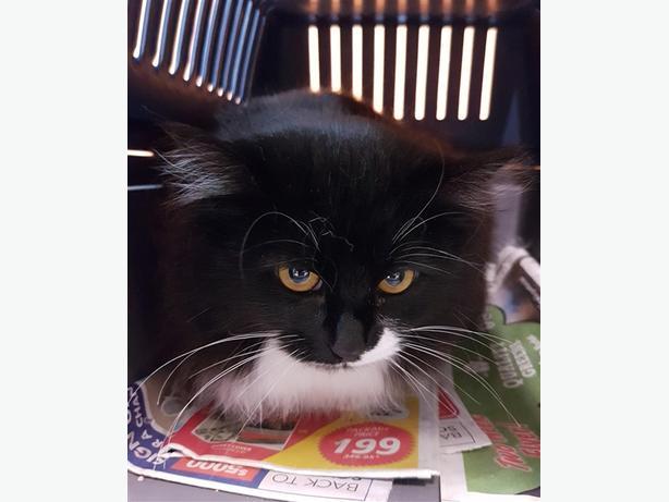 Aria - Domestic Longhair Cat