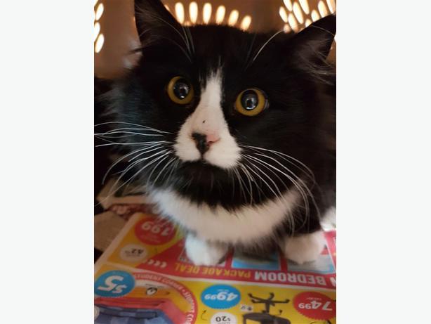 Ezra - Domestic Longhair Cat
