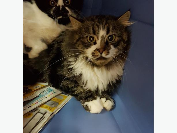Spencer - Domestic Longhair Cat