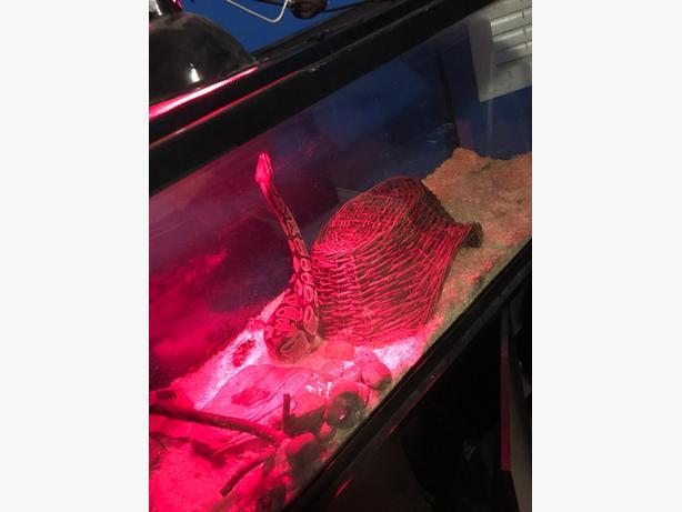 adult femame ball python and set up
